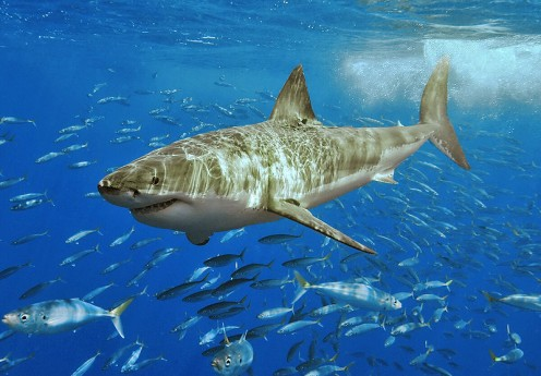 Great White or Megalodon?  Either way it was a really big shark. | Image: Terry Goss