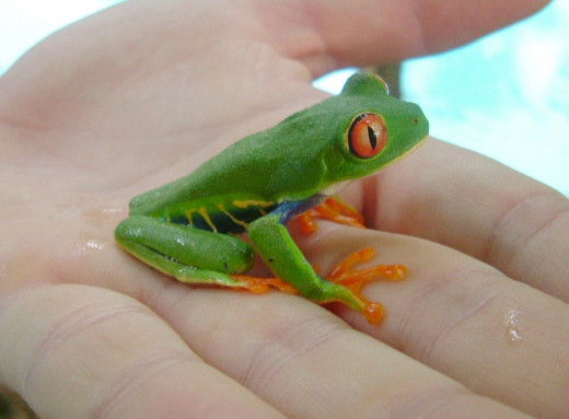 The strikingly coloured red eyed tree frog