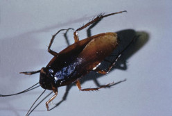 Cockroaches are common indoor pests.