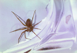 The brown recluse is a poisonous spider.