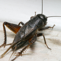 "Crickets ""chirp"" with their wings."