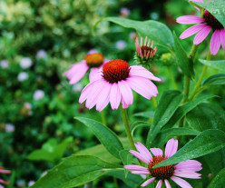 Bees especially like purple, blue & yellow flowers. Pictured: purple coneflower.