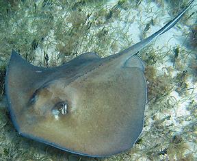 Ray Fish