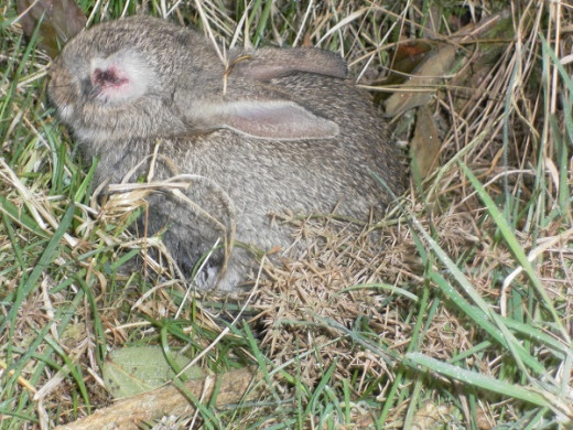 Wild rabbit with Myxomatosis