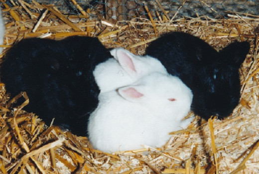 rabbits under 4 weeks old don't get infected by rabbit calicivirus.