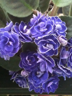 African violets can be a creative writing prompt. Write about them; use them in a story or poem.