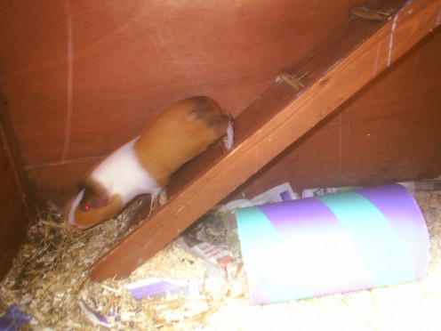 Guinea Pigs Like to Run up Ramps