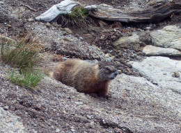 This cute little critter is a Yellow Bellied Marmot, He was the first creature we spotted in Yellowstone.