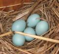 Bluebird eggs resting in a nest of dried grass.