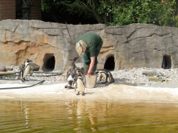 Penguins at feeding time