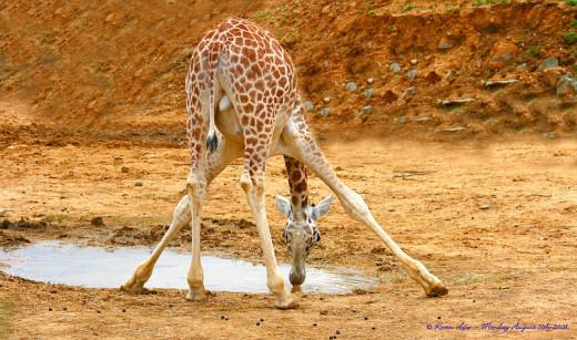 Baby giraffe drinking water