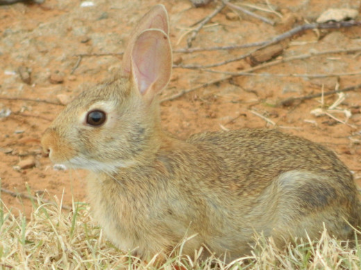 Baby Marsh Rabbit