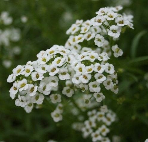 This sweet alyssum, which has since reseeded itself, was first sown in our warm climate garden in late winter.
