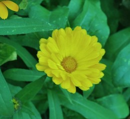 Calendula (pot marigold) can be sown outdoors in late winter in Zones 7-10.