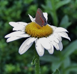 Want Shasta daisies for your summer garden? In cool climates, start them indoors in winter.