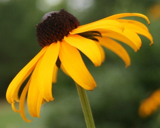Black-eyed Susan (Rudbeckia hirta) is reputedly easy to start indoors.