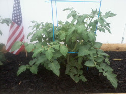 What is the best time of the day to water tomato plants?