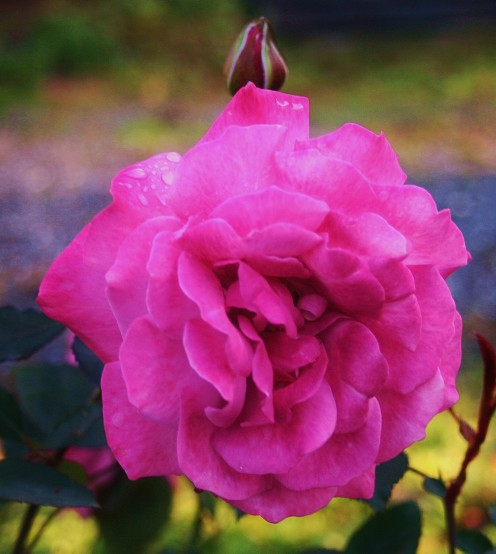 "For larger blossoms, prune the canes of English roses, hybrid teas & other ""new"" roses by 1/2 their length."