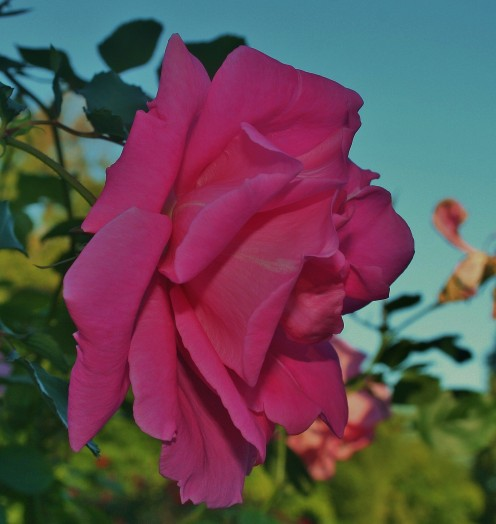 Don't plant bare-root rosebushes if the ground is frozen or a hard freeze is predicted for your area.