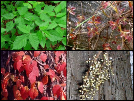 Summer, Spring, Fall, Winter Poison Ivy