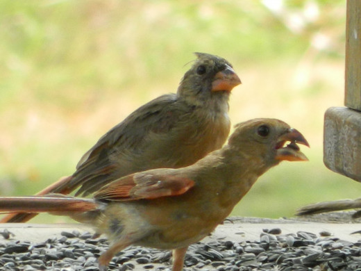 Northern Cardinal with Fledgling