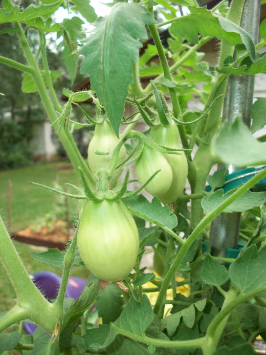 Roma tomatoes thriving in extreme heat