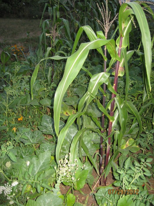 Corn growing in a mixed garden with pumpkins and tomatoes.