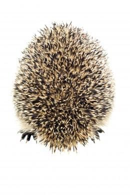 HEDGEHOG by Marmeladik  DESCRIPTIONHedgehog on a white background