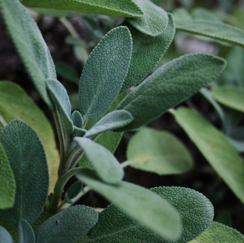 Sage is a hardy perennial herb that can survive most winters without extra protection.