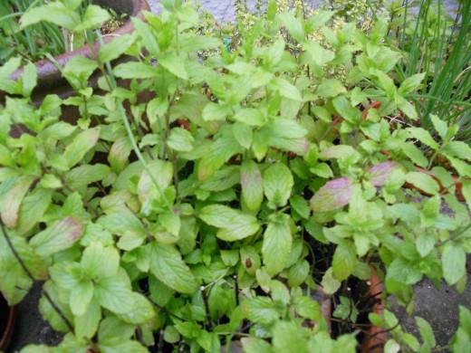 Garden mint, or spearmint (Mentha viridis)