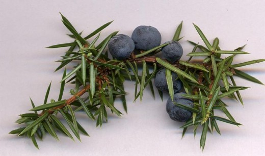 Juniper Cones. Photo by MPF.