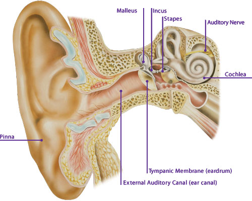 A person's ear