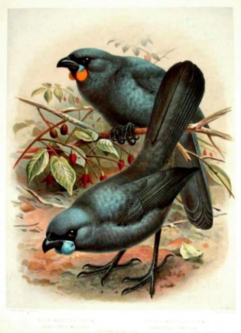 There are two types of kokaos, the North Island Kokako, and the South Island Kokako.