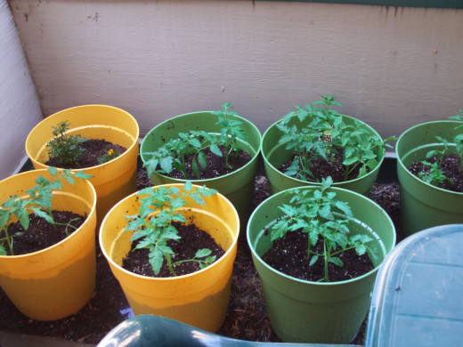 Tomato plants growing in containers.