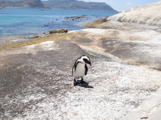 A penguin at Boulders