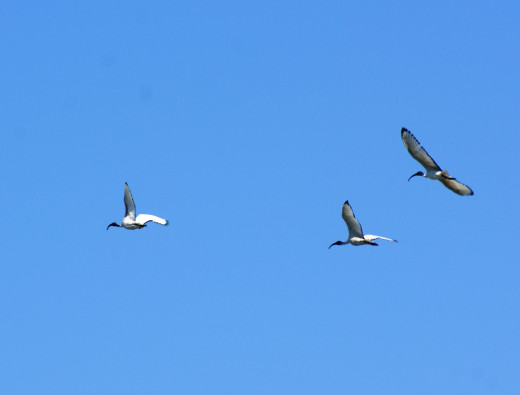 Sacred Ibis- fly past