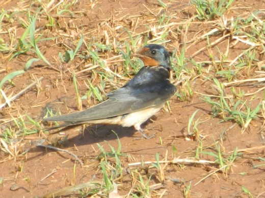 Barn Swallow:  Strike a Pose!