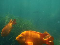 Garibaldi fish. LaJolla Cove, San Diego, California.