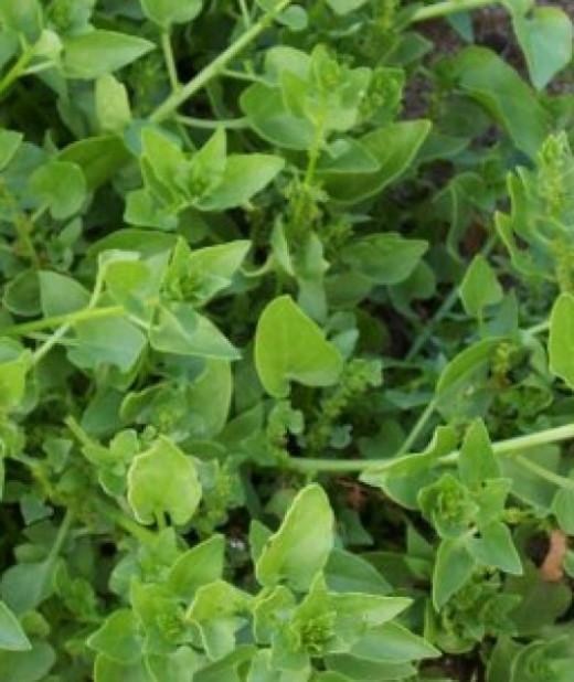 Wild Beet/Spinach (Beta vulgaris) Photo by Steve Andrews