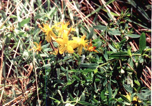 St John's Wort. Photo by Steve Andrews