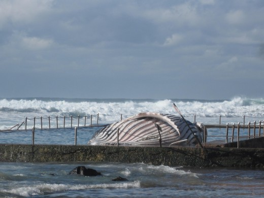 The seas were strong enough to wash the humpback into the pool