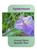 Spiderwort: Number 3 in a Garden Photo Series