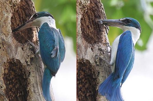 Nest of Kingfisher Bird