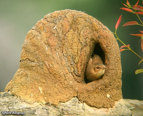 Ovenbird Nest