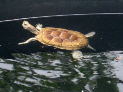 Preparing A Turtle Environment