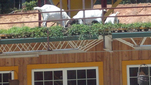 Here are the actual goats on the actual roof!