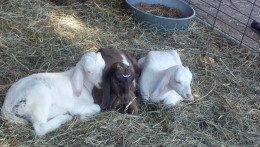 A trio of babies and their mother are kept on the ground and separated from the other goats.