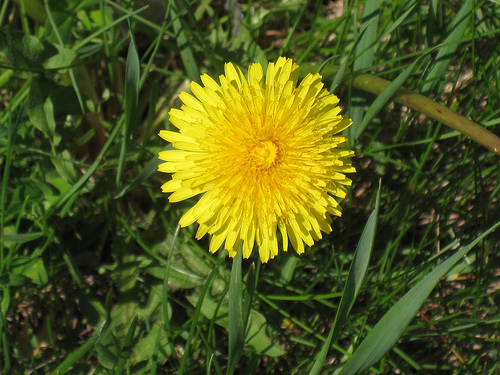 Dandelion tea is good for relieving constipation