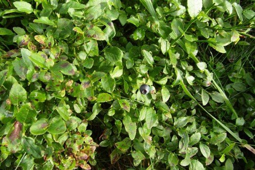 Bilberry on bilberry shrub.