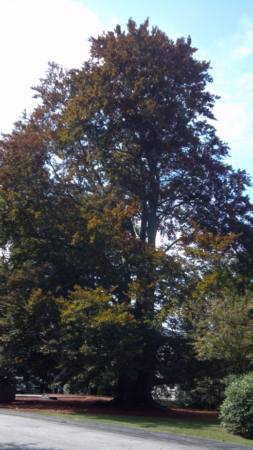 Our magnificent 180 yr. old, 80 ft. tall beech tree